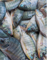 Tilapia Market by Product and Geography - Forecast and Analysis 2020-2024